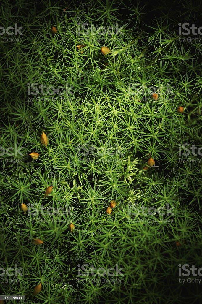 haircap moss royalty-free stock photo