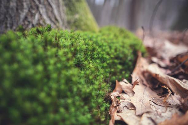 haircap moss - sternmoos stock-fotos und bilder