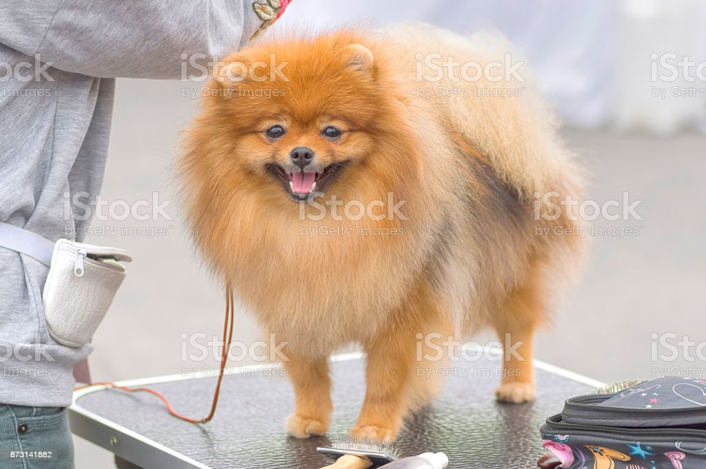 Haircut dogs professional master stock photo