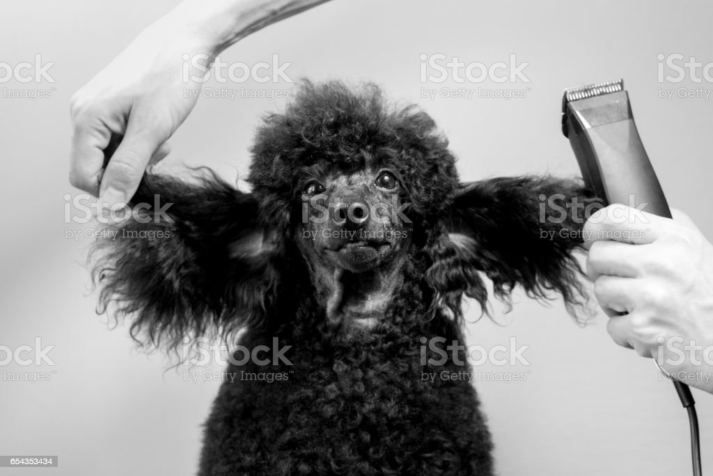 Haircut of the muzzle of a black poodle stock photo