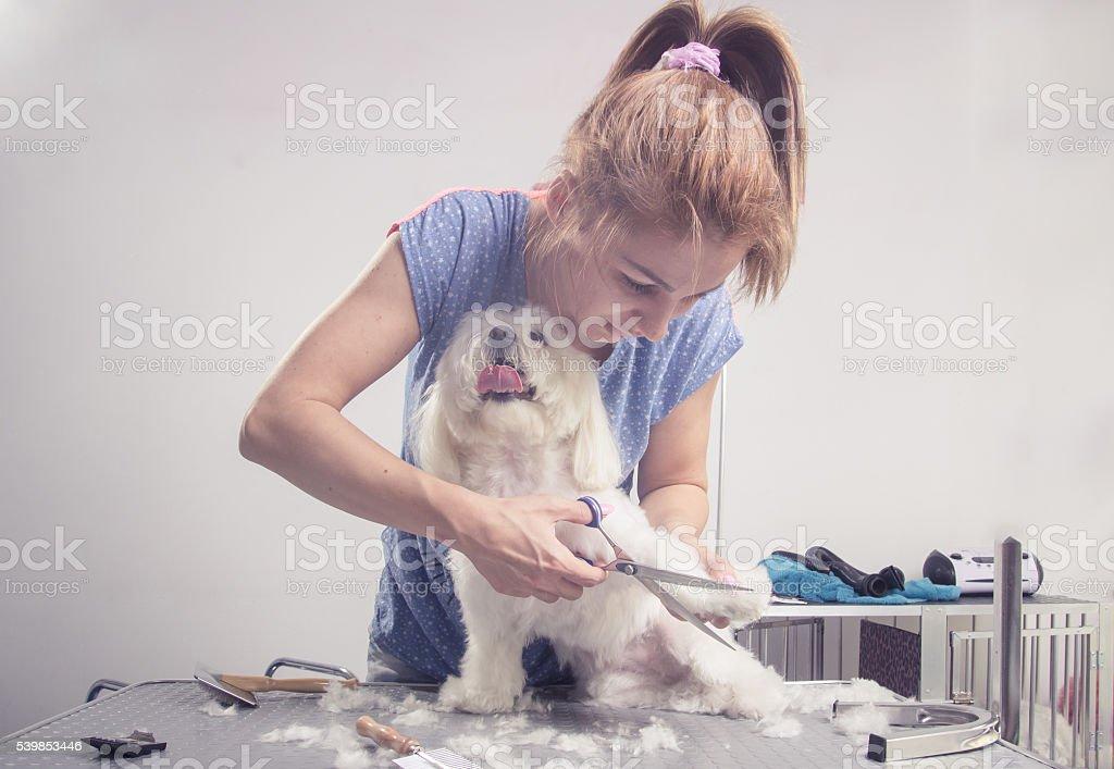 Hairdresser cutting scissors dog hair fur stock photo