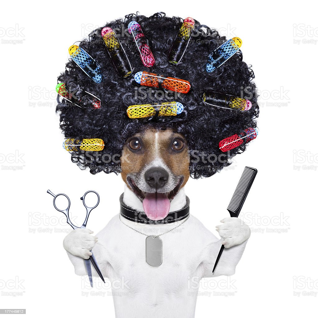 hairdresser   dog stock photo