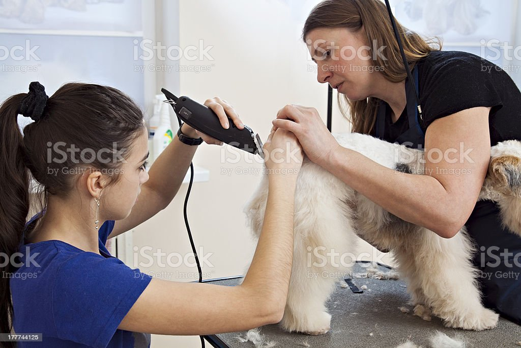 Hairdresser mows fox terrier fur on the back stock photo