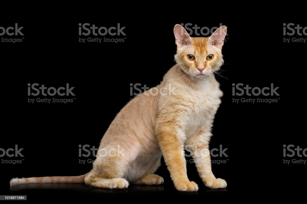Haired Ginger Sphynx Cat On Isolated Black Background Stock