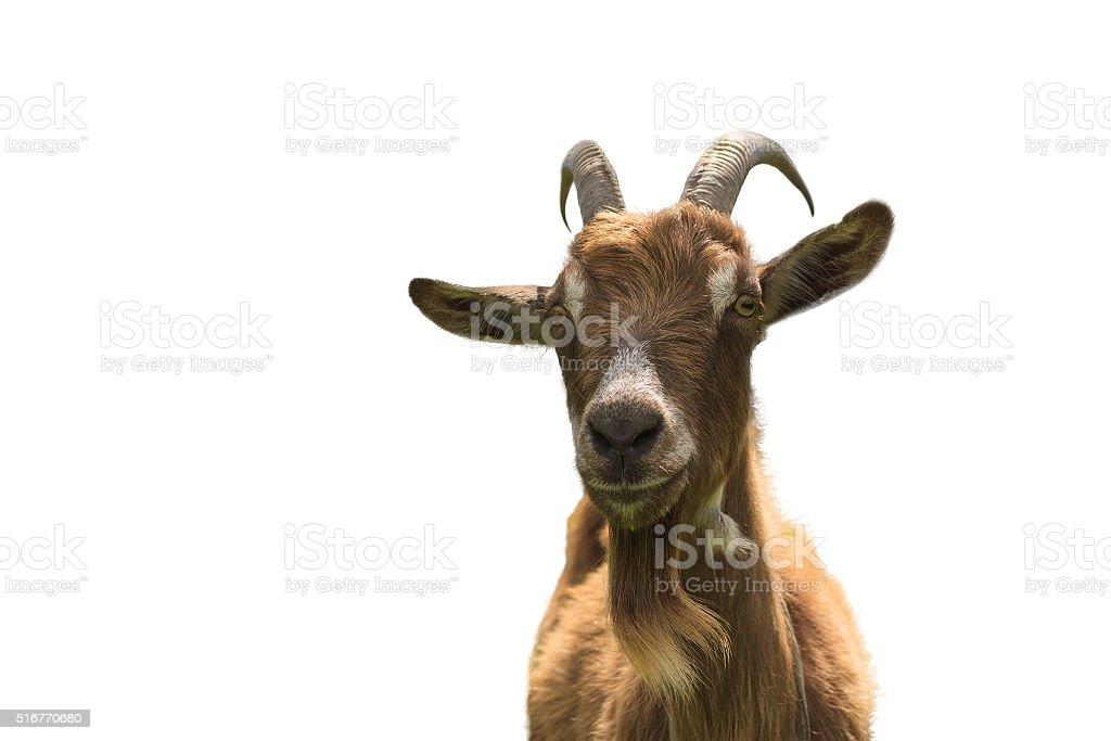 Pêlo de cabra sobre fundo branco em detalhe - foto de acervo