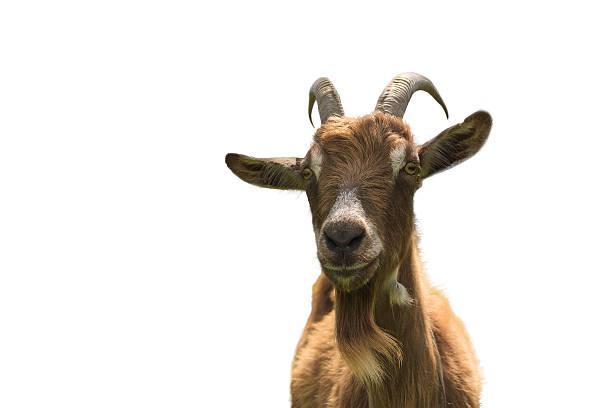 Poil de chèvre sur fond blanc, vue de près - Photo