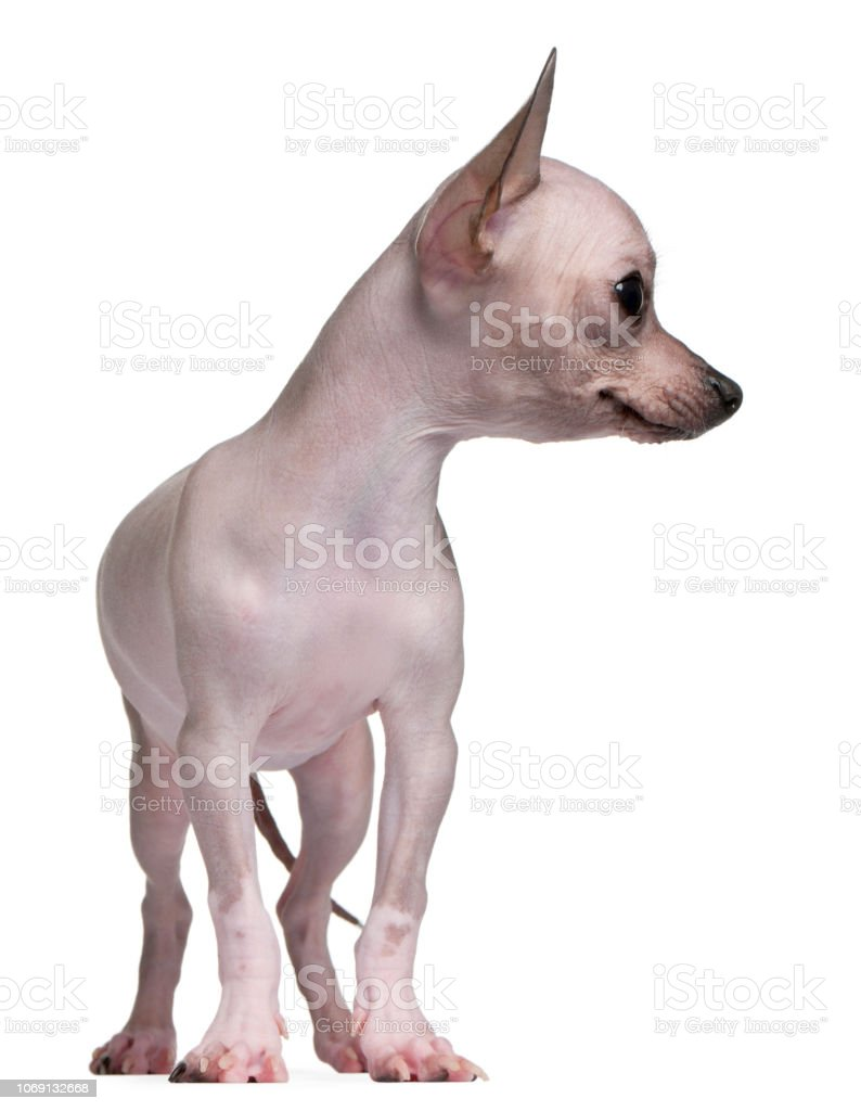 Hairless Chihuahua 5 Months Old Standing In Front Of White