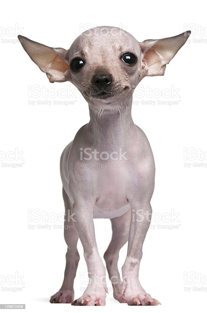 Hairless Chihuahua, 5 months old, standing, white background. royalty-free stock photo