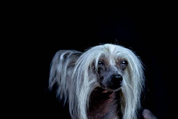 haarlose chinese crested dog auf dunklem hintergrund - chinesische schopfhunde stock-fotos und bilder