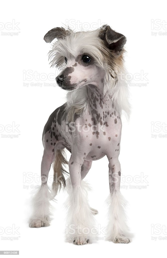 Hairless Chinese Crested dog standing in front of white background stock photo
