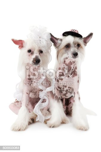 Hairless Chinese Crested Dogs Dressed In Wedding Attire stock photo ...