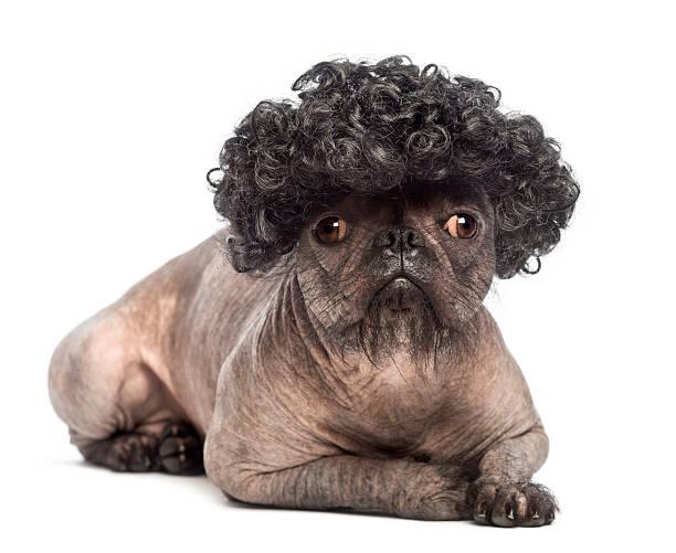 haarlos mischlingshund liegen und trägt ein schwarzes lockiges perücke - chinesische schopfhunde stock-fotos und bilder