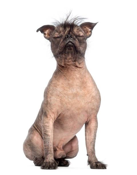 gemischte rassen nackthund, mischung zwischen eine französische bulldogge und einem chinesischen schopfhundes mit geschlossenen augen und sitzen vor weißem hintergrund - chinesische schopfhunde stock-fotos und bilder