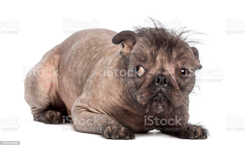 Hairless Mixedbreed Dog Mix Between A French Bulldog And A Chinese