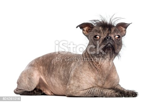 Hairless Mixed-breed dog, mix between a French bulldog and a Chinese crested dog, lying and looking at the camera in front of white background