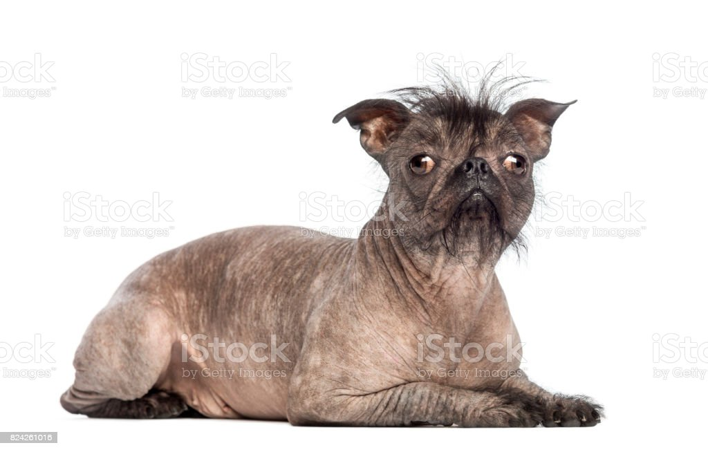 Hairless Mixed-breed dog, mix between a French bulldog and a Chinese crested dog, lying and looking at the camera in front of white background stock photo