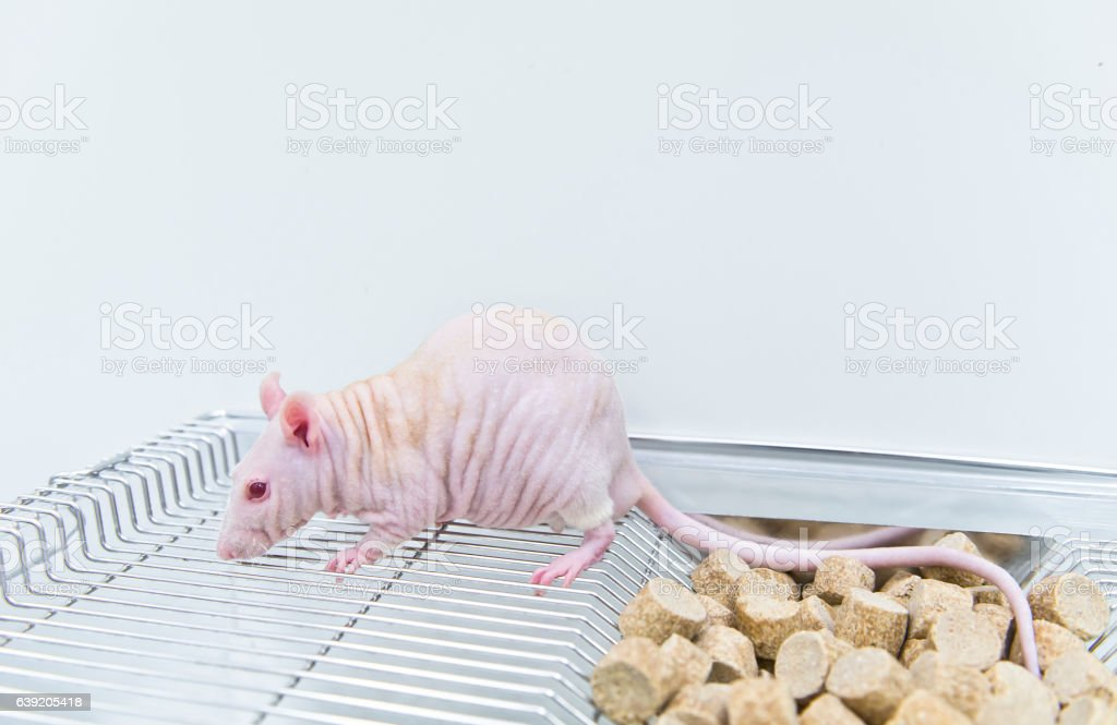 Hairless nude rodent on the cage stock photo