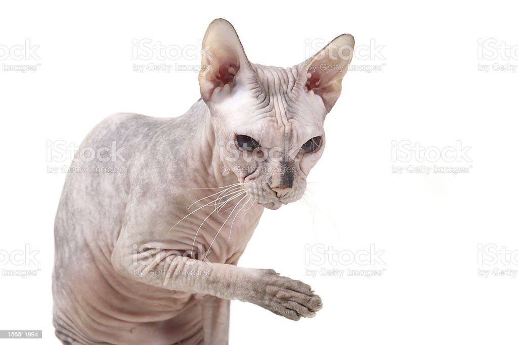 hairless Sphynx cat breed with a raised paw royalty-free stock photo