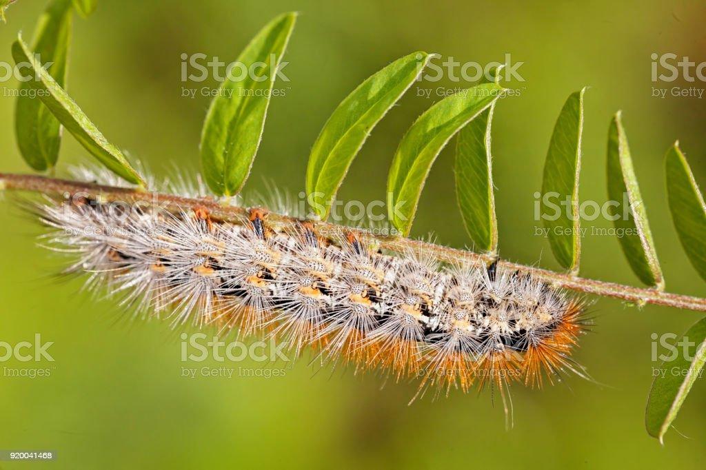 茶色の毛虫 ウジのストックフォトや画像を多数ご用意 Istock