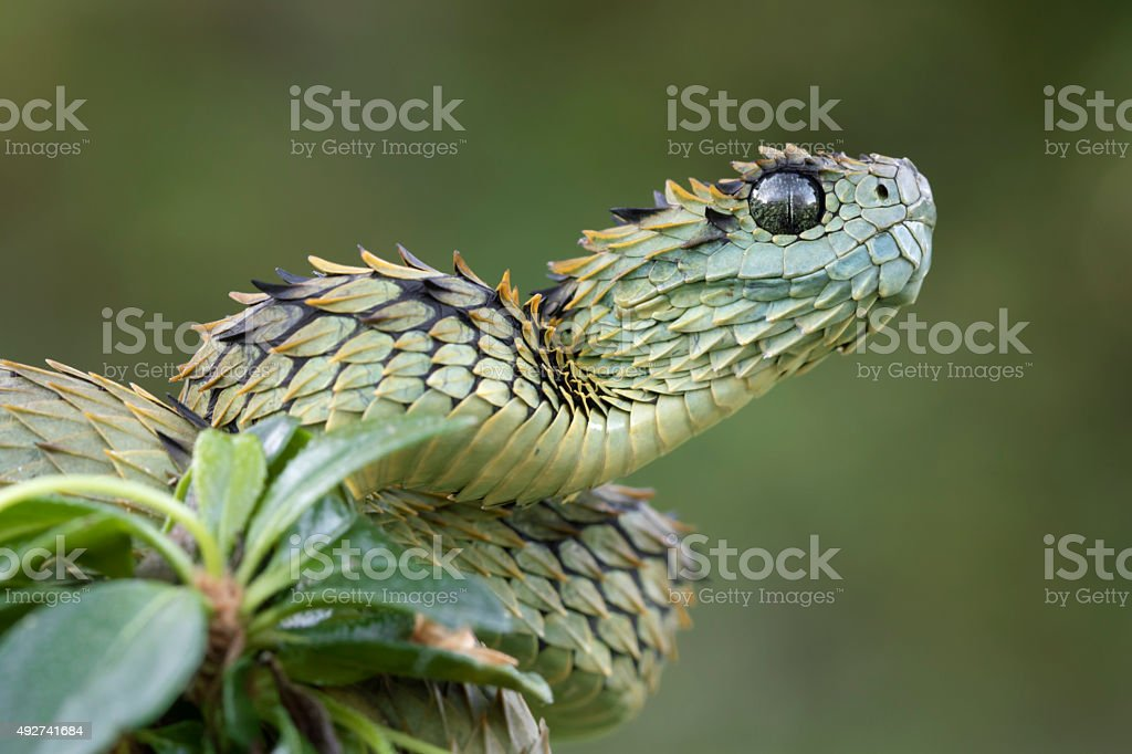 Hairy Bush Viper Ready to Strike - Venomous Snake stock photo