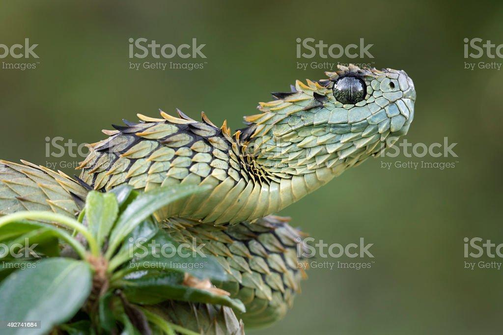 Peludo víbora listo para lograr-Venomous serpiente - foto de stock