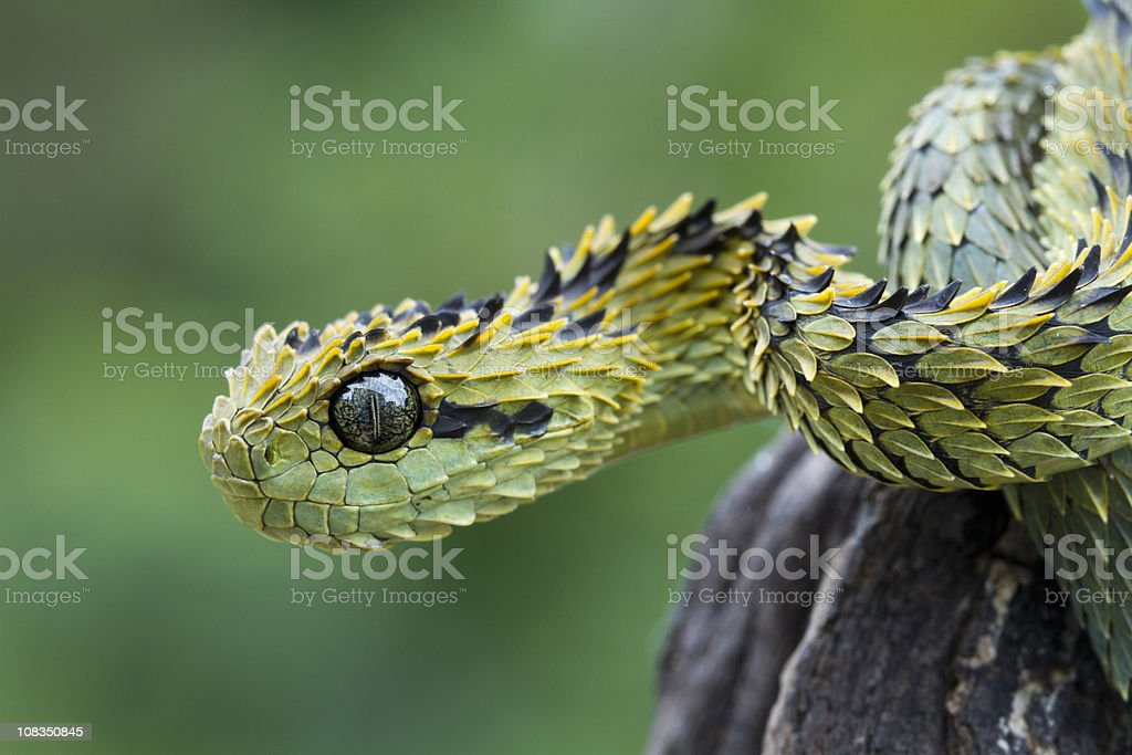 Hairy Bush Viper Snake stock photo