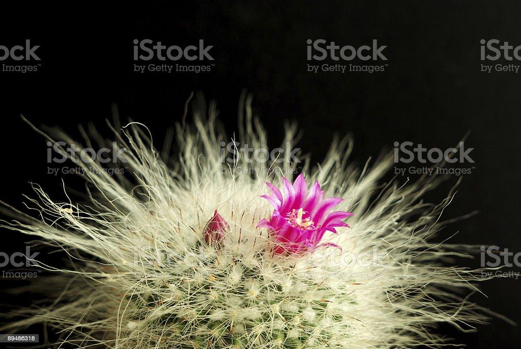 Hairy cactus royalty-free stock photo