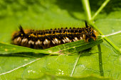 istock hairy caterpillar looking into the camera lens 981889480