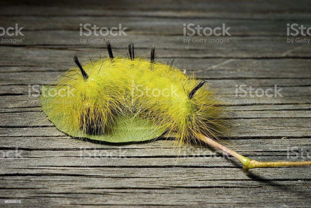 Hairy Caterpillar royalty-free stock photo