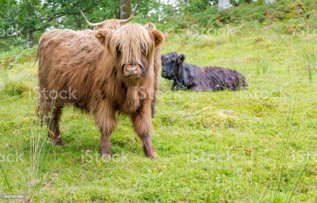 Haarige Kuh Kalb Auf Der Grünen Weide In Schottland Stock-Fotografie ...