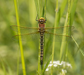 Widespread and locally common. The first of the large dragonflies to emerge each year. Adults can be seen from early May to mid July. The Hairy Dragonfly can be found at sheltered lowland lakes, fens and cutover bogs. It is locally common in parts of the midlands, north and west. This is the earliest dragonfly to emerge each year.