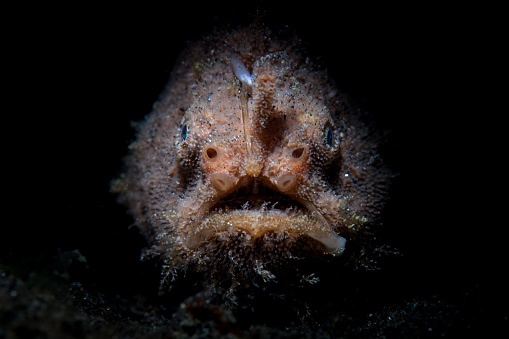 istock Hairy Frogfish in Dark 1168767294