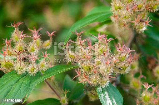close-up of wilted flowers of linnea amabilis or beauty bush with green hairy seed pods