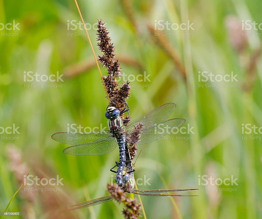 Hairy Hawker (Brachytron pratense) Mating Wheel stock photo