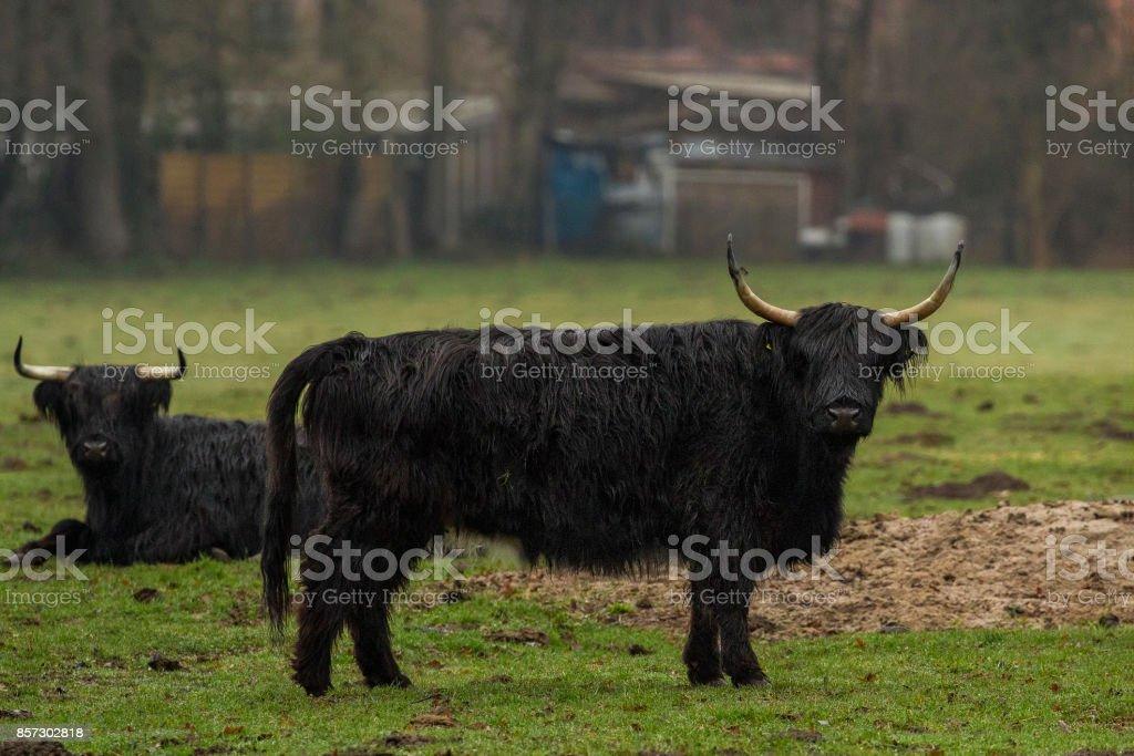 Hairy Highland Bull stock photo