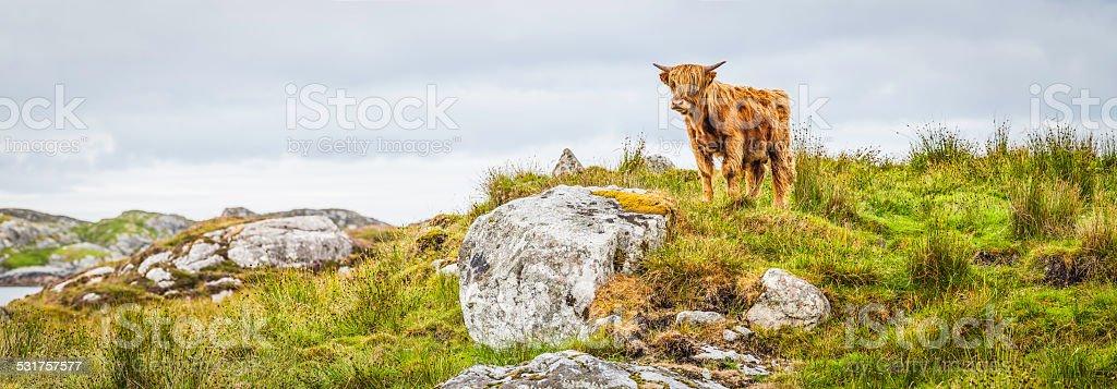 Poilu Vache des Highlands battu par le vent island Pâturage panorama îles Hébrides extérieures au large de l'Écosse - Photo