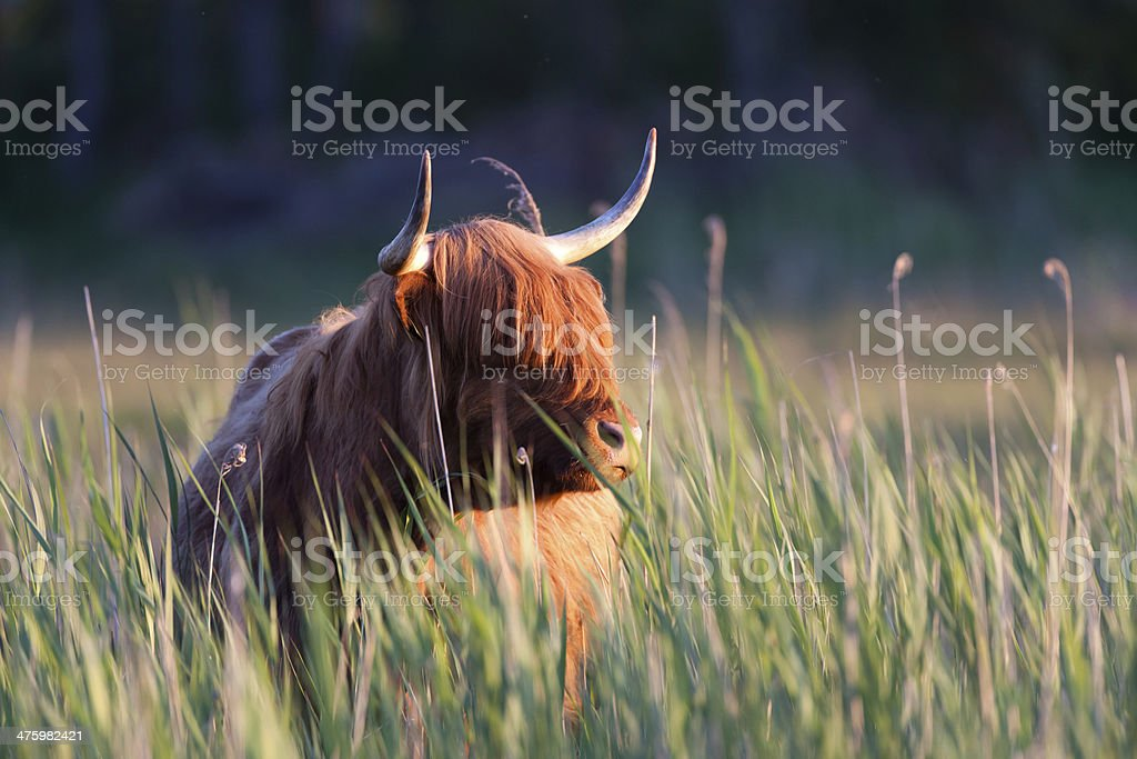 Hairy Highland Cow royalty-free stock photo