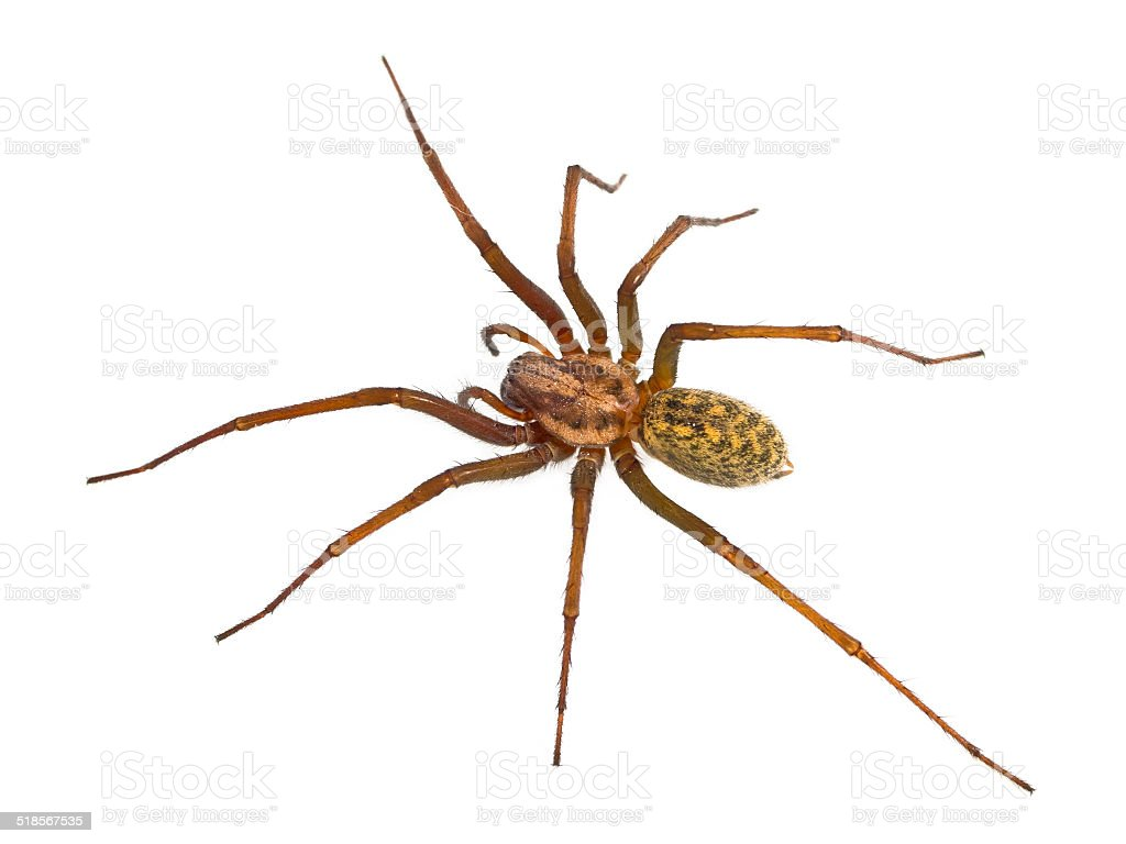 Hairy House spider isolated on white stock photo