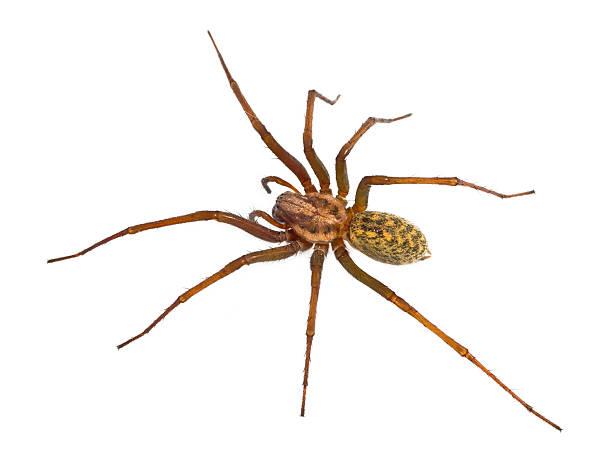 poilu araignée de maison isolé sur blanc - araignée photos et images de collection