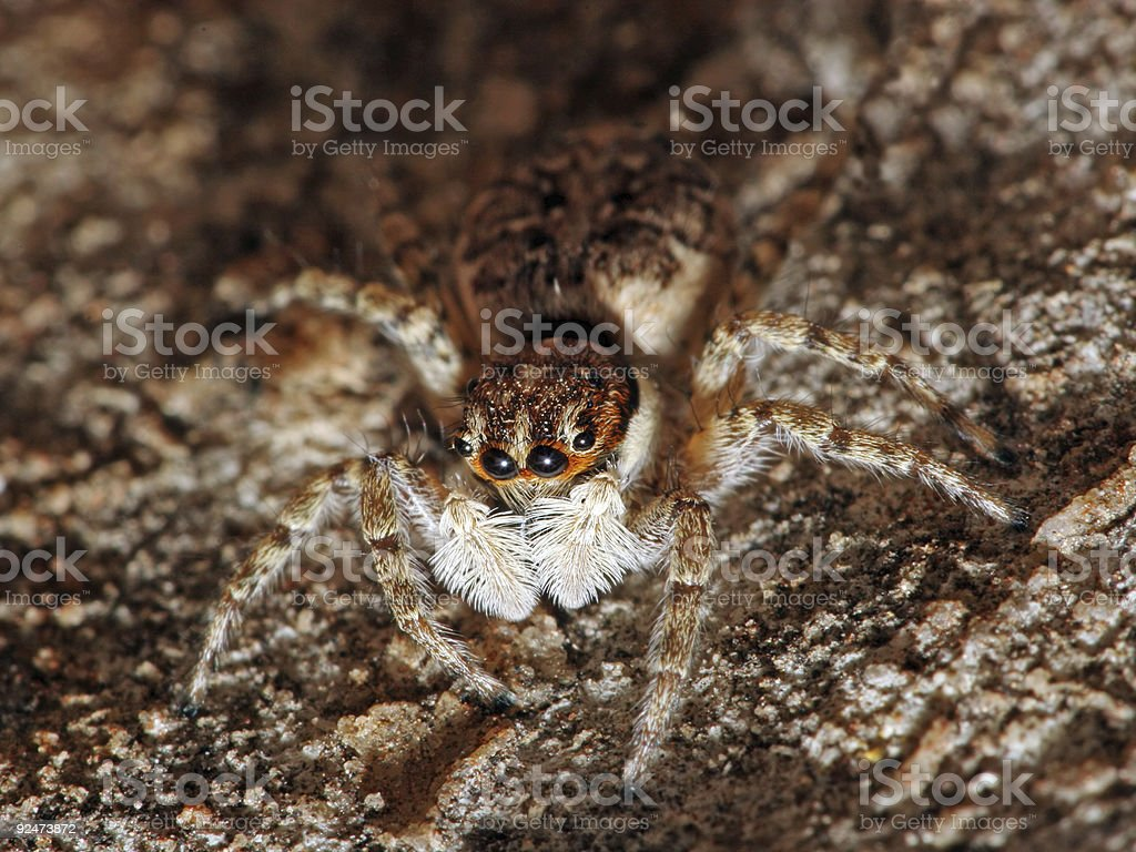 Hairy jumping spider 1 royalty-free stock photo