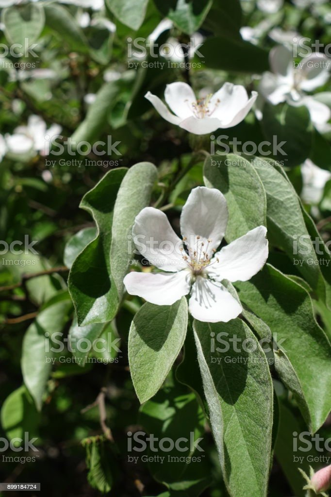 Hairy leaves and big flowers of quince stock photo