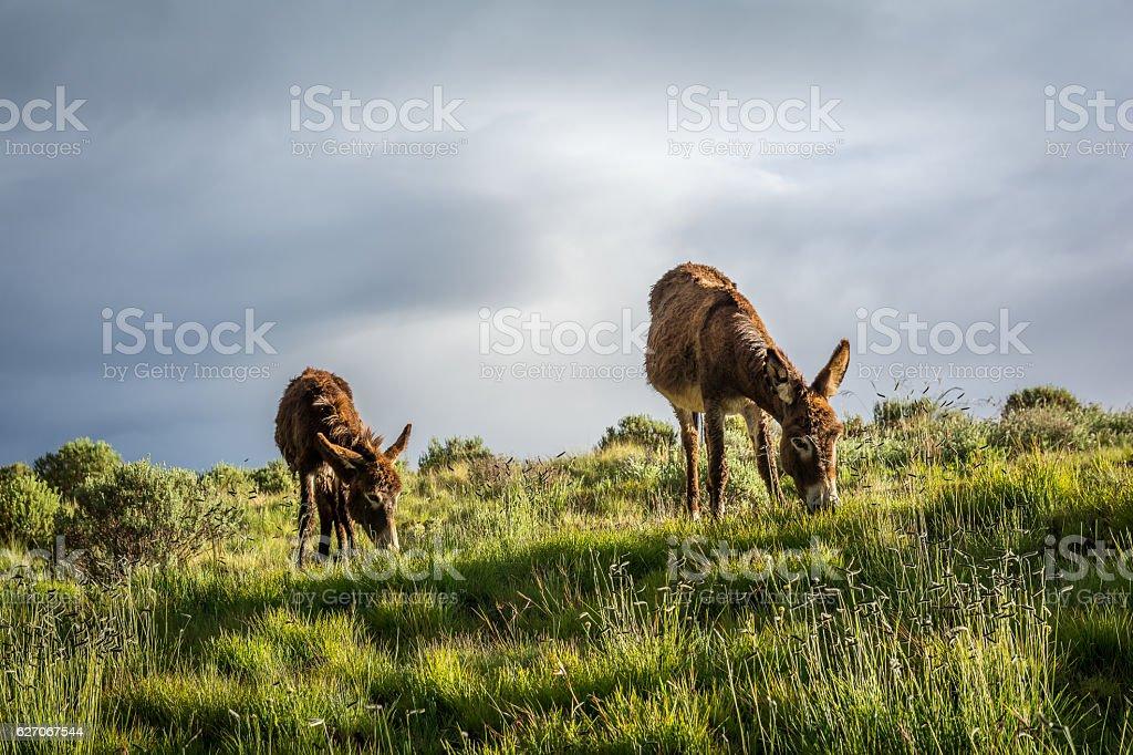 Hairy Lesotho Mountain Donkeys stock photo