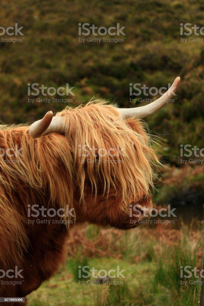 poilue poil longs vache Highland manger l'herbe dans un champ vert en Écosse - Photo
