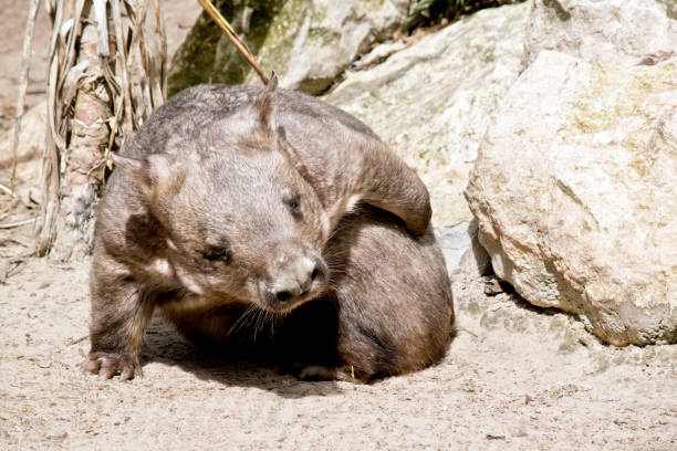 hairy nosed wombat - wombat stock photos and pictures