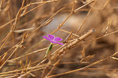 istock Hairy pink Petrorhagia dubia flower on blurred background of dry plants 1296284915