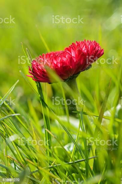 Photo of hairy red daisy