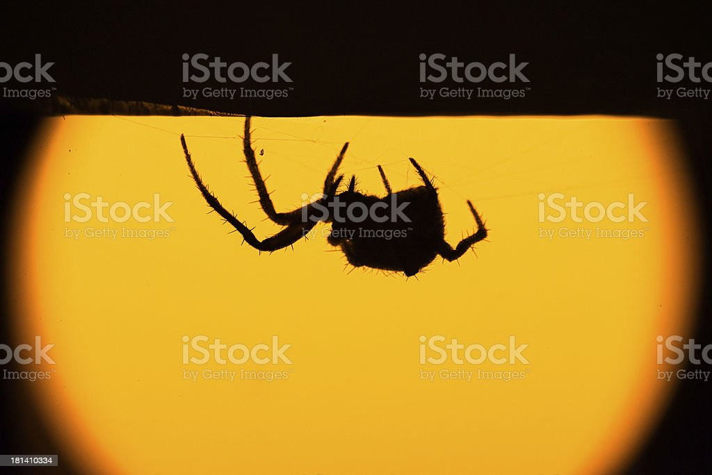 hairy spider in silhouette royalty-free stock photo