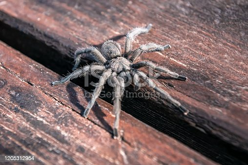 live scary hairy tarantula spider in nature