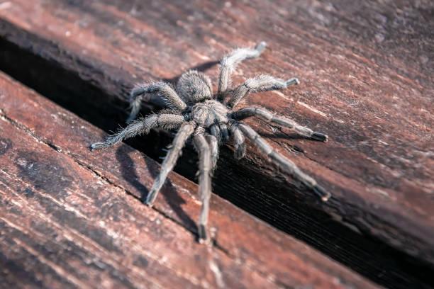 hairy tarantula spider stock photo