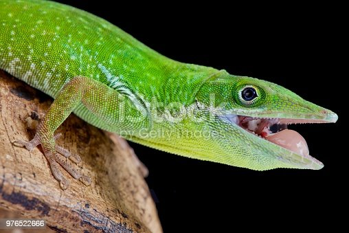 The Haitian white lipped anole is endemic to Hispaniola and then the Haiti part.